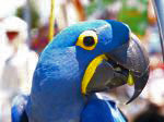 MOLLY: Hyacinth Macaw