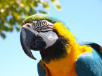 PRINCE: Blue and Gold Macaw